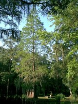 Bald cypress at Pond