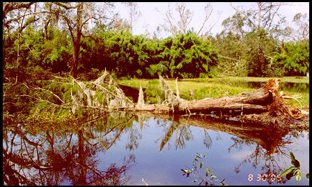 Daddy's Baldcypress in Pond