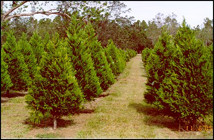 Christmas Trees after Straightening