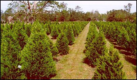 2005 Sale Trees