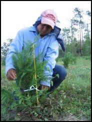 Staking Trees