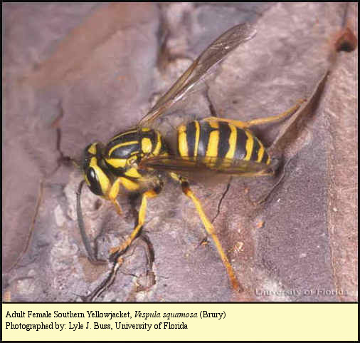 Southern Yellowjacket (Ground Hornet)