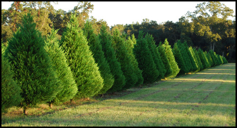 Leyland Cypress, Leighton Green Field 'E' 2009