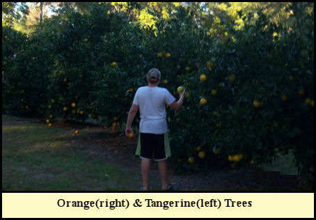 Chad tests the oranges in the Fleming citrus orchard.