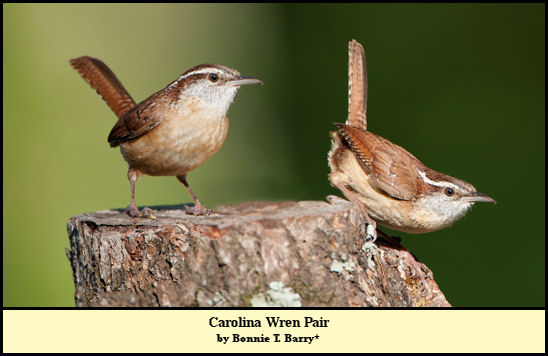 Carolina Wren Pair, photographed by Bonnie Taylor Barry