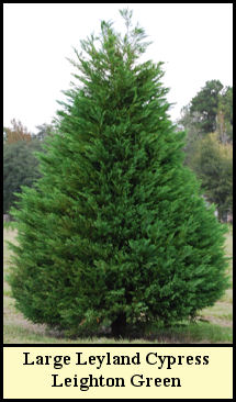 Specimen Leyland Cypress Leighton Green at Shady Pond Tree Farm