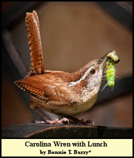 Carolina Wren with Baby Food, photographed by Bonnie Taylor Barry
