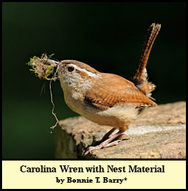 Carolina Wren preparing to begin Nest Construction, photographed by Bonnie Taylor Barry