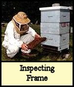 Inspecting bee hive foundation frame.