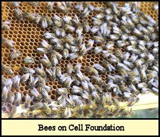 Bees on cell foundation.