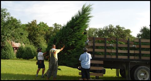 Greensmen load giant Eastern Redcedar on first stakebody truck at Shady Pond Tree Farm