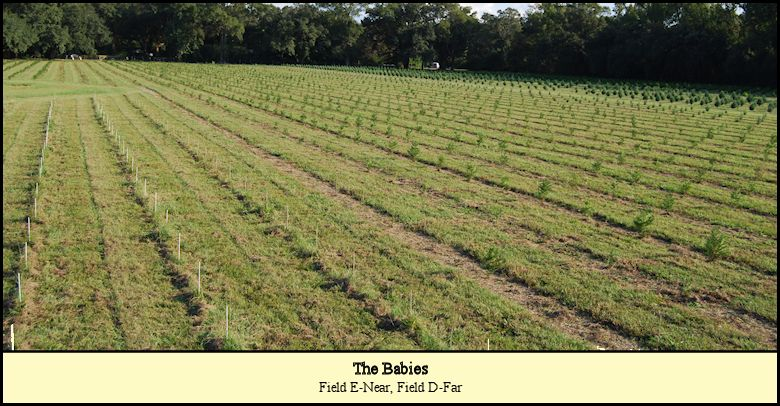 Baby Christmas trees planted at Shady Pond Tree Farm