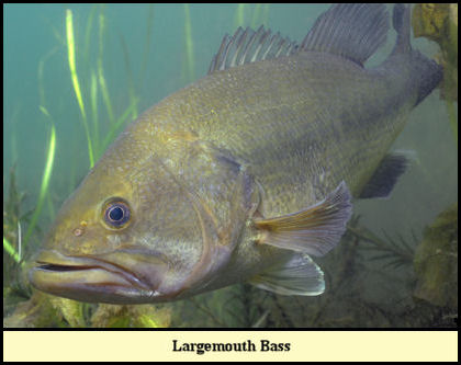 Largemouth Bass, the Eagle's catch