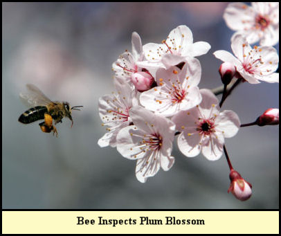 Bee inspects plum blossom.