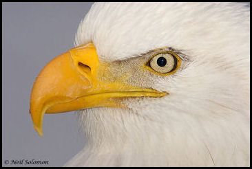Bald Eagles have extremely powerful eyesight.
