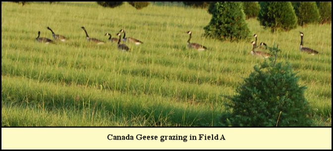 Geese eating Bahia grass seed at Shady Pond.