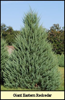 Specimen Eastern Redcedar-Burkii at Shady Pond Tree Farm