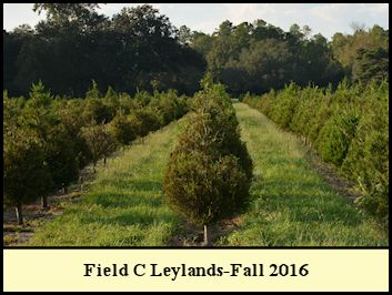 Leyland cypress in Field C, Christmas 2016.