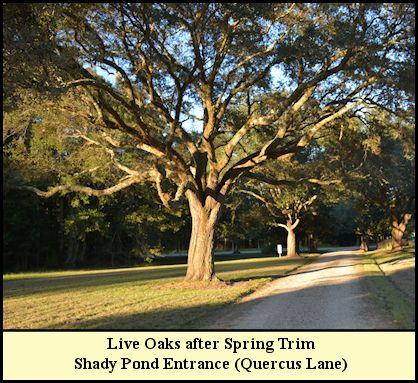 Live Oaks lining the road were trimmed in early 2016.