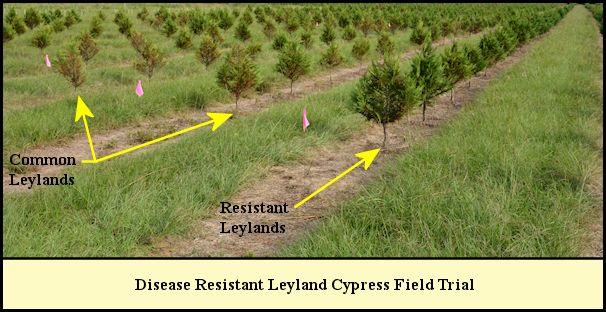Disease Resistant Leyland field trial at Shady Pond.