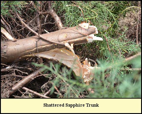 Shattered Carolina Sapphire Trunk at Shady Pond Tree Farm.