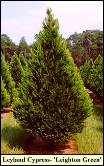 Cultivar most commonly planted in louisiana for use as christmas