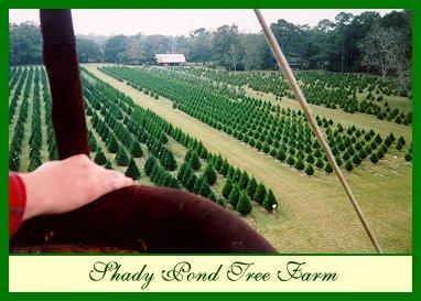 Shady pond tree farm louisiana s exotic christmas tree plantation