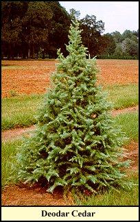 Deodar Cedar Christmas Trees grow at Shady Pond Tree Farm...