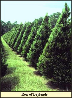 Leyland Cypress Christmas Trees grow at Shady Pond...